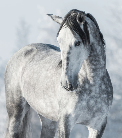 Spanish thoroughbred grey horse in winter forest. Monochromatic wintertime vertical outdoors image. Stock Photo
