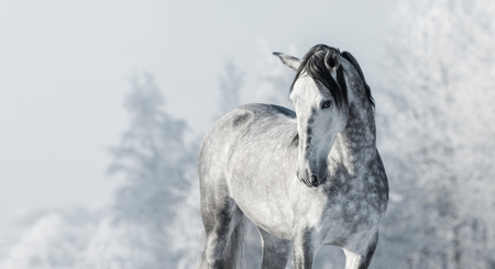 dapple grey: Portrait of Spanish thoroughbred grey horse in winter forest. Monochromatic wintertime horizontal outdoors image.