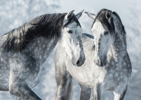 Portrait of two spanish grey stallions in winter forest. Monochromatic wintertime horizontal outdoors image. Stock Photo