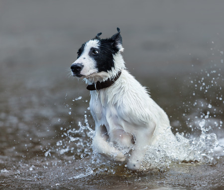 mongrel: Puppy of mongrel  jumps out of water. Square composition.