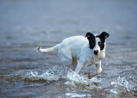 Puppy of mongrel is afraid of waves. Dog bathes for the first time. Stock Photo