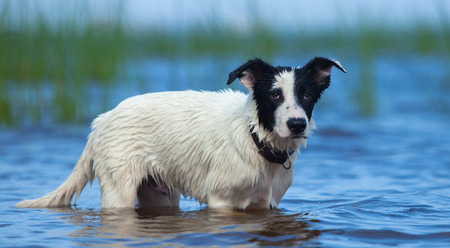 mongrel: Spotty puppy of mongrel standing in water on the seashore. Summertime horizontal outdoors image.