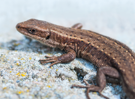 viviparous: Common lizard is heated on gray stone