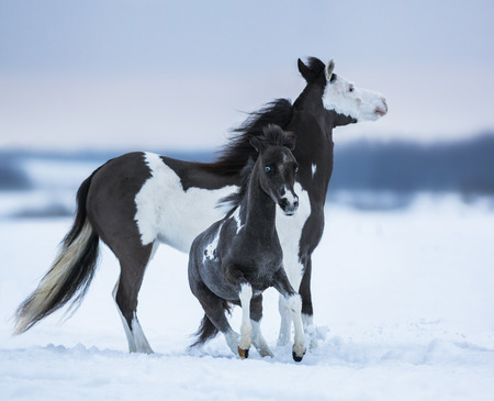 snowy field: Mare whit foal on snowfield. Breed horse - American miniature horse.