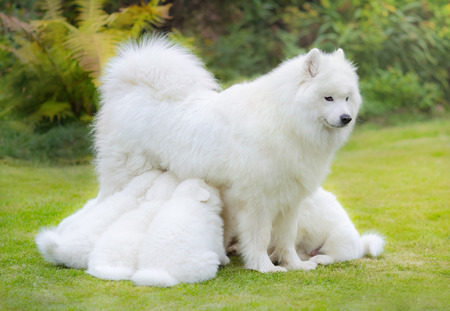 Samoyed dog puppies, 6 weeks old, suckling mother, in front of nature background