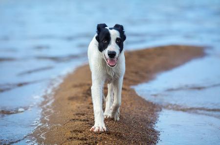 Spotty mongrel walks along sand spit on the seashore. Summertime horizontal outdoors image. Stock Photo