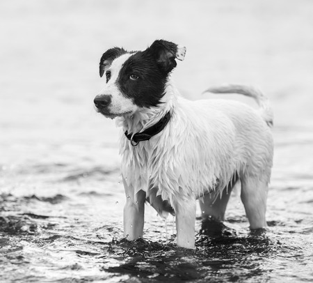 square image: Watchdog standing in water on the seashore. Black-and-wtite square outdoors image. Stock Photo