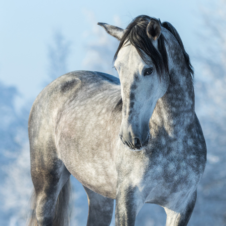 Portrait of thoroughbred gray stallion in winter forest on a blue sky background. Multicolored wintertime square outdoors image. Stock Photo