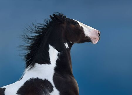 American Paint horse. Portrait on dark blue background. Side view. Close up.
