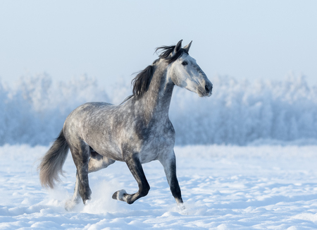 winterly: Grey Spanish horse runs trot in winter snowy field at winter time