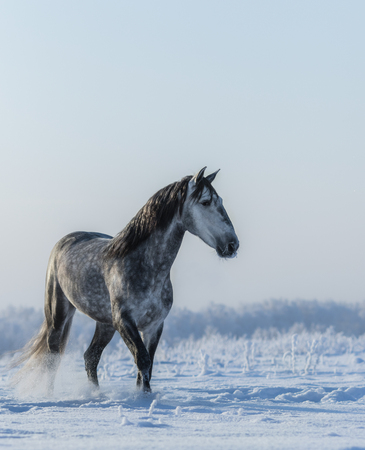 PRE Andalusian gray stallion walks on freedom at winter time Stock Photo