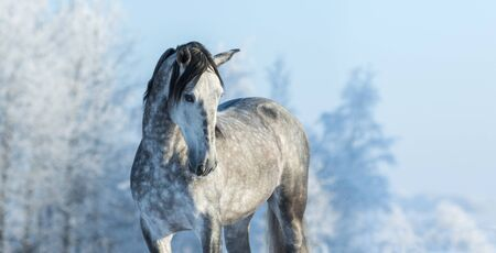 Andalusian thoroughbred gray horse in winter forest on a blue sky background. Multicolored wintertime horizontal outdoors image.   Stock Photo