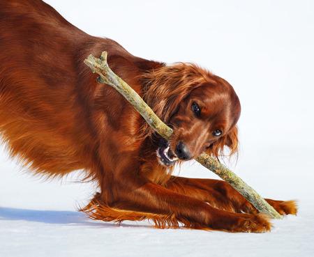 hunter playful: Dog breed Irish Red Setter gnaws stick. Wintertime horizontal outdoors image. Stock Photo