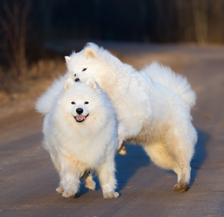 square image: Samoyed dog with puppy playing on sandy road at sunset. Springtime square outdoors image. Stock Photo