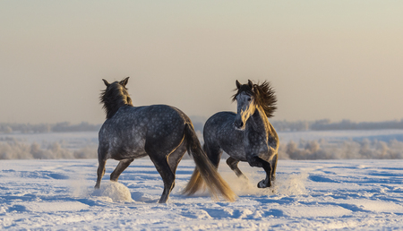 Dancing Spanish horses. Two Andalusian gray stallions playing together on winter pasturage  at sunset light Stock Photo