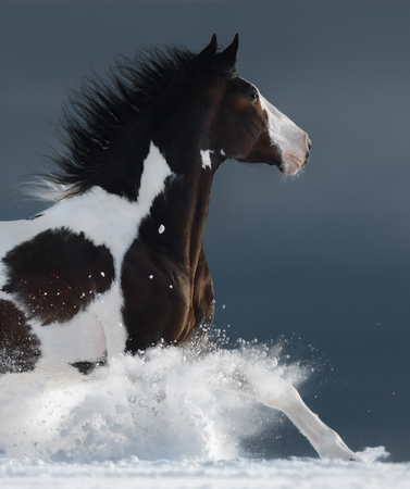 American Paint horse running gallop across a winter snowy field. Side view. Close up.