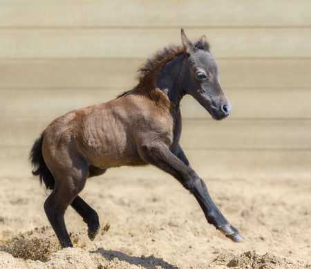 little one: Little American miniature bay foal playful in sand. One month old. Side view.