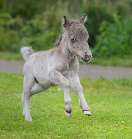 American miniature horse. Name - HF NOBLE�S GULLIVER. Male. Date of Birth 16 June 2017. Owner - Elena Chistyakova and Pony farm Hidalgo. Russia. Shoot date - 21 June 2017.