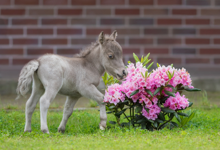 American miniature horse. Name - HF NOBLE�S GULLIVER. Male. Date of Birth 16 June 2017. Owner - Elena Chistyakova and Pony farm Hidalgo. Russia. Shoot date - 21 June 2017.