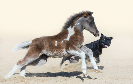 Staffordshire Bull Terrier dog and American miniature foal. Foal is one month of birth. Concept about communicating of different animals. Selective focus on horse, blur dog.