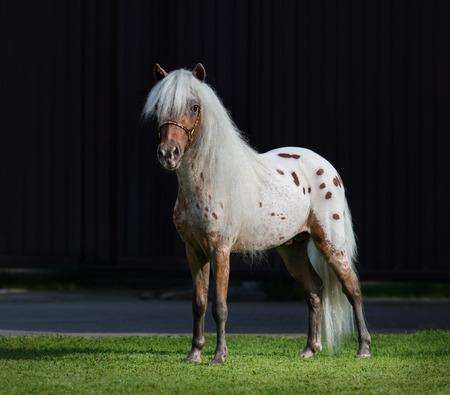 appaloosa: Appaloosa American miniature horse standing on green grass on dark background. Stock Photo
