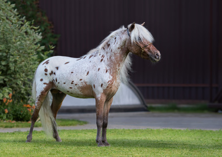 Appaloosa American miniature horse standing on green grass in garden. Imagens - 84496933