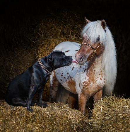 Staffordshire Bull Terrier dog and appaloosa American miniature horse on straw in stable. Concept about communicating of different animals.