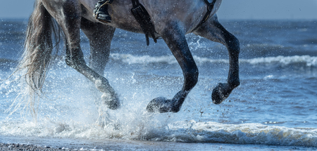 Dapple-grey horse run gallop on water. Legs of horse close up into sea with splashes.