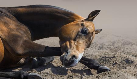 Close up of Akhal-teke stallion rolls in sand.  Stock Photo