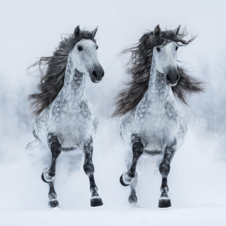 Two dapple-grey long-maned Andalusian horses run gallop across snowy field. Square outdoors image. Front view.