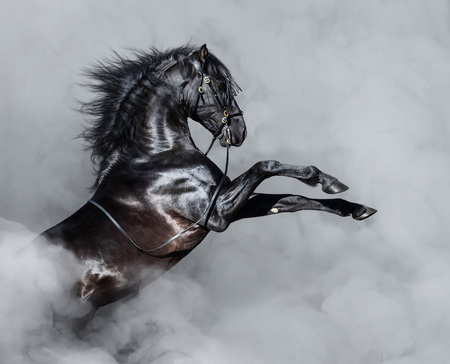 Black Andalusian horse rearing in light smoke.