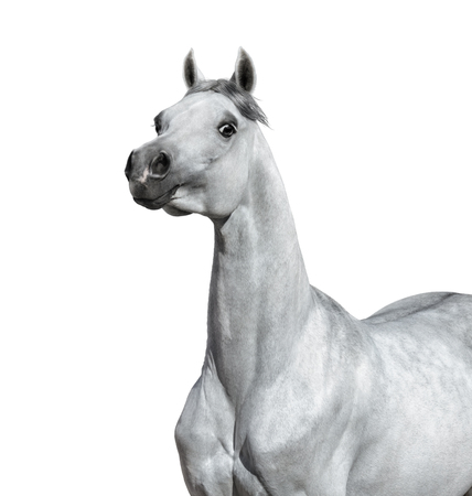 Gray Arabian horse on white background. Graceful statuary stallion looking at camera.