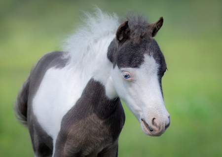 American Miniature Horse. Portrait close up of pinto foal with blue eyes on blurred green background. 스톡 콘텐츠