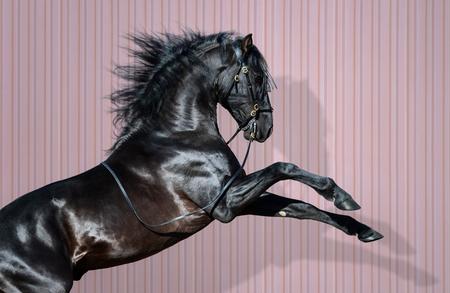 Black Pura Spanish Horse rearing on dark pink striped background.