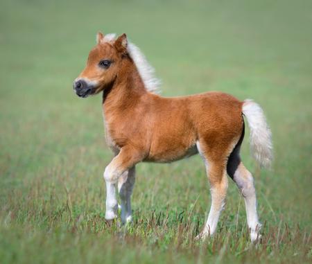 American Miniature Horse. Foal on green field. 스톡 콘텐츠