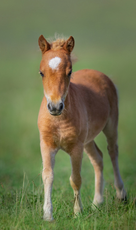 American Miniature Horse. Portrait chestnut foal with white star.