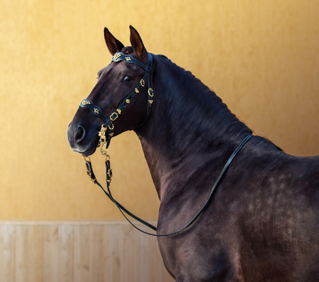 Portuguese horse in portuguese baroque bridle on gold background.
