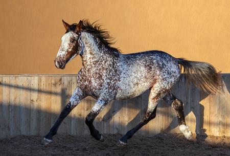 Beautiful rare unique color appaloosa. Crossbreed between Appaloosa and Andalusian horse.