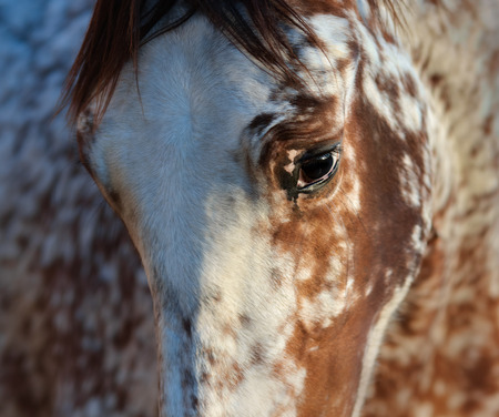 Beautiful rarity unique color appaloosa. Crossbreed between Appaloosa and Andalusian horse. 스톡 콘텐츠