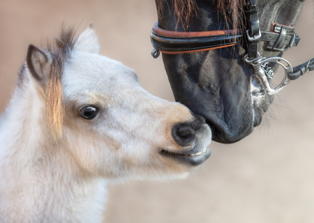 Close up portrait big Andalusian horse and American miniature horse. Concept about communicating of different animals. 스톡 콘텐츠