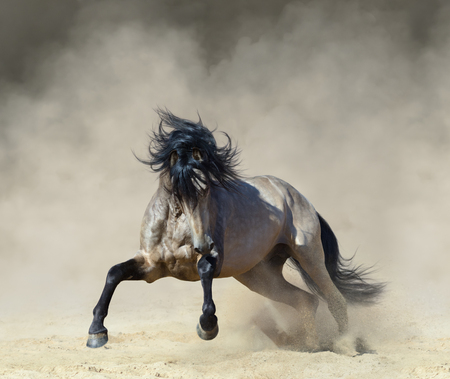 Purebred Andalusian horse playing on sand in paddock in dust.
