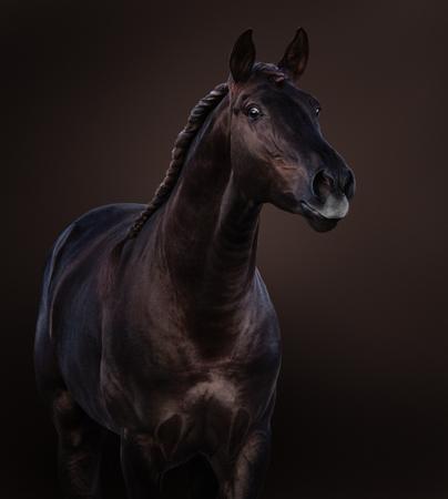 Broun Lusitano horse on dark brown background. Close-up studio portrait.