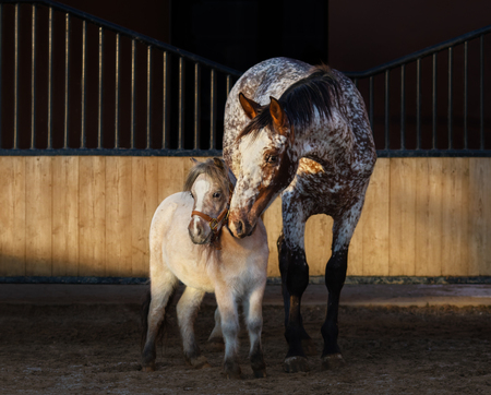 Beautiful rare color Appaloosa horse and American miniature horse in paddock at sunset light.