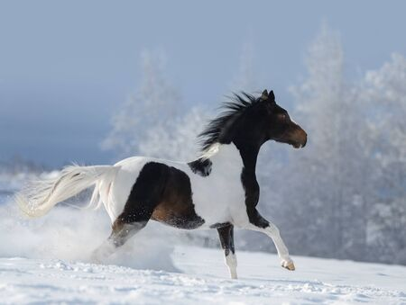 American paint horse galloping across winter snowy meadow. Beautiful winter landscape with snow covered trees.
