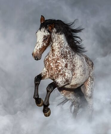 Crossbreed between Appaloosa and Andalusian horse rearing in light smoke. 스톡 콘텐츠