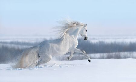 Beautiful winter panoramic landscape. White horse with long mane galloping across winter snowy meadow. Stock Photo