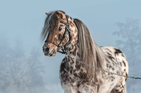Horizontal portrait of Appaloosa miniature horse in black halter at winter time. Stock Photo