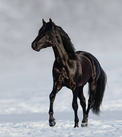 Black Andalusian horse trotting on snow meadow with blured nature background.