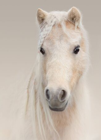 Portrait closeup of palomino American Miniature Horse on pastel background. Stock Photo