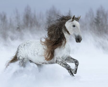 Dapple-grey Purebred Andalusian horse with long mane galloping during blizzard across winter snowy field. Stock Photo